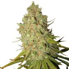Buy Special Kush 1 Cannabis Seeds
