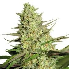 Buy Special Queen 1 Cannabis Seeds