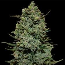 Buy ROYAL COOKIES Cannabis Seeds