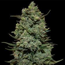 Buy ROYAL COOKIES Cannabis Seeds