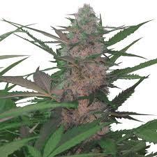 Buy ROYAL AK Cannabis Seeds