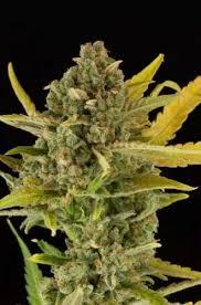 Buy Critical Cannabis Seeds